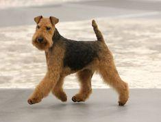 welsh terriers...