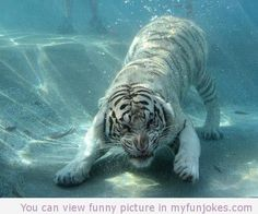 Awesome photo of tiger underwater — funny animal pictures with captions  in http://www.myfunjokes.com/funny-animals/awesome-photo-of-tiger-underwater-funny-animal-pictures-with-captions/