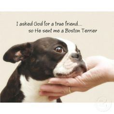funny boston terriers | funny boston terrier | Boston Terrier True ... | Because it made me h ...