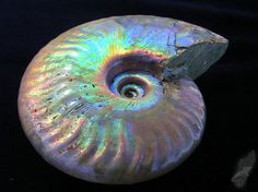 Iridescent Ammonite Fossil from Madagascar