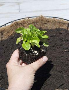 How To: Lettuce Leaf Hanging Baskets