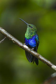 Fork-tailed Woodnymph beautiful little green and blue hummer! All Birds, Little Birds, Pretty Birds, Beautiful Birds, Hummingbird Moth, Aerial Dance, Different Birds, Bee Eater, Humming Birds
