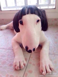 Bull Terrier - bearing a striking resemblance to Barbra Streisand! All Dogs, I Love Dogs, Best Dogs, Cute Dogs, Dogs And Puppies, Funny Wigs, Funny Animals, Cute Animals, Photo Animaliere