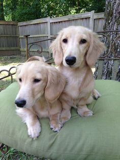 Maxwell and Alexander, English cream dachshunds via > Gustav's Dachshund World & Friends and Kelly Knight Johnson