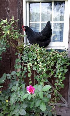 Excellent article - How to Landscape your chicken coop: Although it may seem like an exercise in futility, it actually IS possible to landscape your chicken run. A nicely landscaped run serves many purposes. A variety of bushes and shrubs will make your run look nice, while providing shade, a supply of bugs and insects and a predator screen. The joy that a pretty run brings makes it worth the extra effort.... Lots of photos and information!