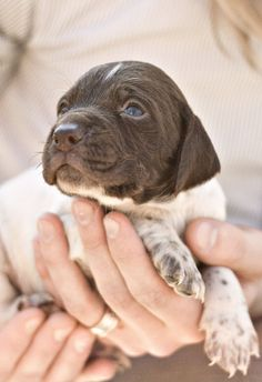 All I want for Christmas is an English springer spaniel pup!! Whomever wrote this, I hope they get their wish! The most wonderful dogs on 4 legs!