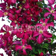 image de Clematis viticella Mme Julia Correvon Gardening, Photos, Image, Flower Colors, Red Flowers, Shrubs, Plants, Cottage Gardens, Future Tense