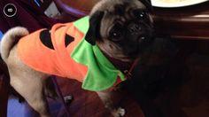 Happy Halloween from pugkin Mimi!