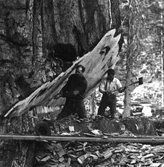 Photo of loggers using axes to make a notch in a giant redwood cedar