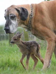 Real life bambi: Rocky the great dane adopted this orphaned fawn, Cindy, in Highbridge, Somerset, after she was rescued and brought into the Secret World Animal Rescue Centre