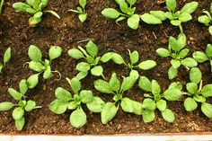 Narrow Beds, Not Rows, For Planting