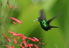 hummingbird - Twitter Search