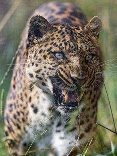 Photo by Tambako the Jaguar Ocelot, I Love Cats, Big Cats, Silly Cats, Lynx, Beautiful Cats, Animals Beautiful, Jungle Cat World, Jaguar Leopard