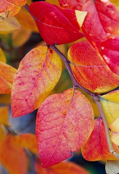 Blueberry (Vaccinium species) bushes (left) are brilliant maroon or orange torches of color in the fall garden. Full sun and well-drained, acidic soil are essential. Zones 3-7. by midwestliving #Gardens #Fall_Color
