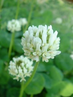 """white clover- means """"think of me"""" to be snuck into Bethany's and Carly's bouquets"""
