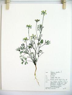 Queen Anne's Lace Print, #53, herbarium specimen art scientific wall art pressed…