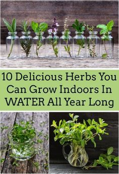 "you have a few favorite ""go-to"" herbs? Here are 10 delicious herbs you can grow indoors in water all year long!Do you have a few favorite ""go-to"" herbs? Here are 10 delicious herbs you can grow indoors in water all year long! Organic Gardening, Gardening Tips, Indoor Gardening, Indoor Herbs, Gardening Services, Indoor Herb Planters, Gardening Gloves, Water Plants Indoor, Gardening Supplies"