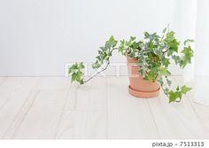 蔦も棚も! http://pixta.jp/photo/7513313 アイビー 鉢植え