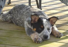 Australian Cattle Dog 48