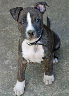 Brindle #Pitbull #Puppy | Love of Pitbulls amoreeeeeeeee❤️❤️❤️❤️
