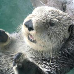 The new sea otter pup at the Seattle Aquarium.