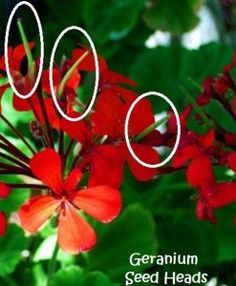 How to Collect Geranium Seeds from Plant (With Pictures) - Geranium Guide Container Gardening Vegetables, Succulents In Containers, Container Flowers, Container Plants, Vegetable Gardening, Backyard Plants, Outdoor Plants, Garden Plants, House Plants