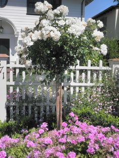 "Rose Iceberg Standard Tree Rose 36"" and Geranium ivy pink. - Chris Gilcrest Location - Saratoga CA http://www.growquest.net/ProductDetails.asp?ProductCode=PRT36IcebergCa"
