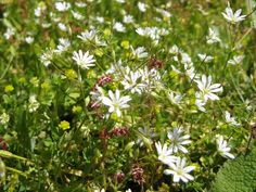 Mouse-ear Chickweed..... 22.06.15
