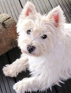 I keep thinking I need to stop pinning westies then..... Who can resist this cutie?