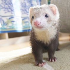 10 Reasons Ferrets Would Make Great Pets - World's largest collection of cat memes and other animals Baby Ferrets, Funny Ferrets, Pet Ferret, Chinchilla, Ferret Cage, Animals And Pets, Baby Animals, Funny Animals, Cute Animals