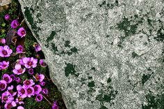 Ian Ashton: 'In the alpine section atthe Royal Botanic Gardens, there seems more rock than flowers at this time of year