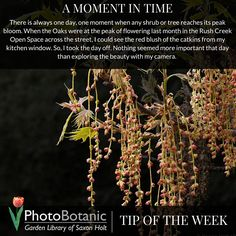 It's my #photography #tipoftheweek | Remember to pause during the crazy busy spring season and enjoy each plant as it comes into peak bloom. | Full post online here: http://photobotanic.com/news/flowering-oak-moment-time | #howto #photographytips #gardening #gardenphotography