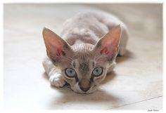 Devon Rex kitten is watching you...