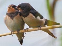 Vogel des Monats: die Schwalben
