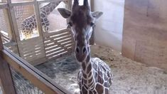 April the Giraffe is having a baby, and she's ready to give birth at any moment!