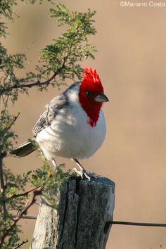 Paroaria coronata - Cardenal -. Freebirds