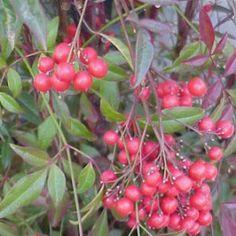 Plantas n on pinterest for Arbustos de hoja perenne resistentes al frio