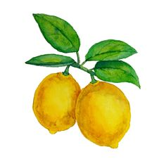 Watercolor lemons hanging on branch with leaves vector art illustration Lemon Pictures, Free Pictures, Free Vector Graphics, Vector Art, Adobe Illustrator, Lemon Painting, Leaves Vector, Easy Watercolor, Watercolor Leaves