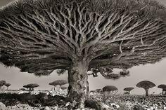 Сердце дракона. Последние 14 лет американский фотограф Бет Мун (Beth Moon) проводит в поисках самых старых деревьев по всему миру. Она путешествует по земному шару, чтобы запечатлеть самые величественные экземпляры, растущие в далеких, удаленных от цивилизации местах, таких же старых, как и сами деревья.