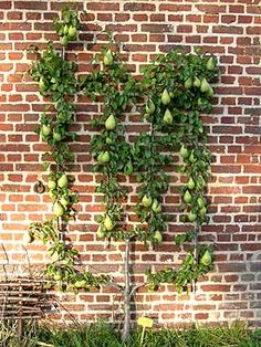 For gardens with limited growing space, espalier your fruit trees. Just as grape vines are espaliered on a trellis, so can a fruit tree be trained the same. It does require a bright sunny place to grow, as fruit trees need full sun. Pictured here is an espaliered pear tree. It's a very old growing technique, but perfect for today's smaller gardens.
