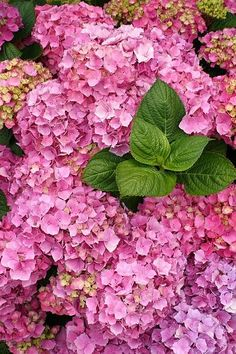 Hydrangeas are one of the most popular perennial garden shrubs, mostly due to their mesmerizing big flowers in pink, white ot blue color and nice foliage, even in autumn. They add a vintage charm to any garden. Hydrangea Care, Hydrangea Not Blooming, Hydrangea Flower, Garden Shrubs, Flowering Shrubs, Garden Plants, Big Flowers, Beautiful Flowers, Bloom Blossom