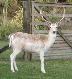 Fallow Stag