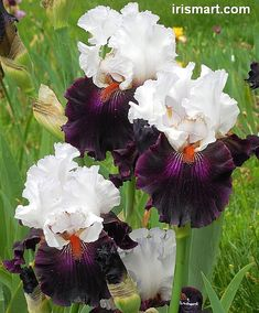 Tall Bearded Iris 'Starring'