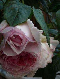 David Austin ~ The Wedgood Rose