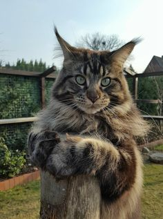 http://www.mainecoonguide.com/where-to-find-free-maine-coon-kittens/ #NorwegianForestCat