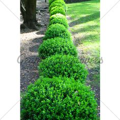 Japanese Boxwood - Accent Border - Shrub