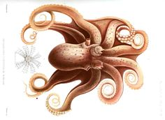 Animal-Octopus.jpg 1,526×1,116 pixels Transactions of the Zoological Society of London. 1885.