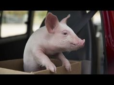 Story Of A Man And His Pig Will Bring You To Tears - The Dodo