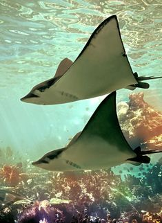 Bull nose sting rays loved to have their backs lightly caressed. Sweet, graceful sea angels.