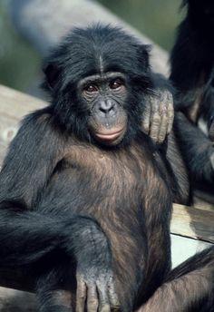 Bonobo/Lady Killer